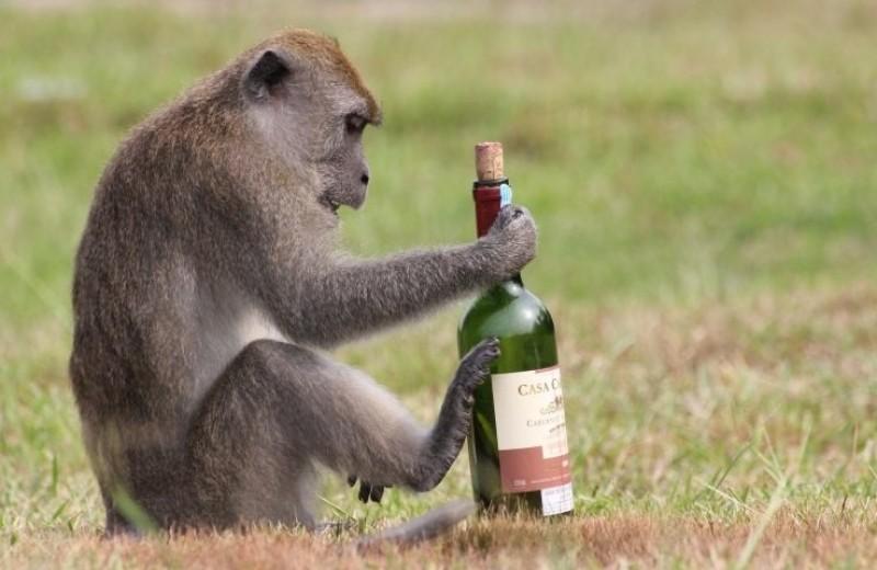 Как и почему пьянствуют животные