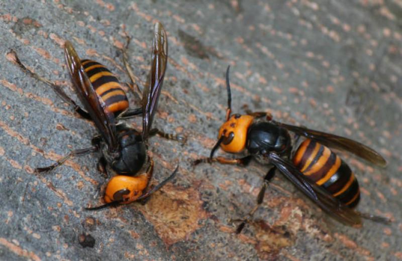 Пять самых опасных насекомых