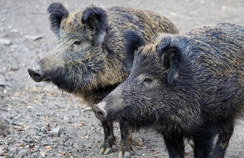 Животные отлично себя чувствуют в зоне отчуждения Фукусимы – особенно кабаны