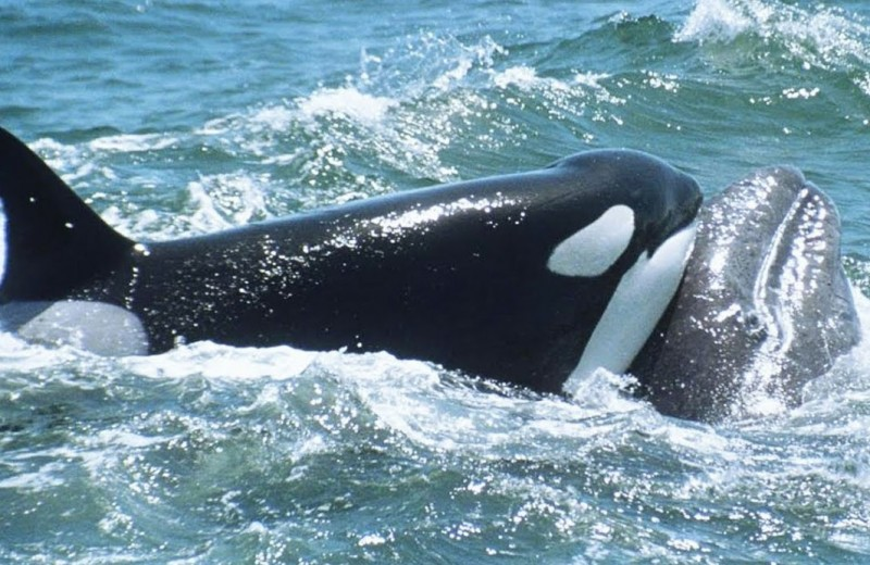 Горбачи спасают молодого серого кита от косаток: видео