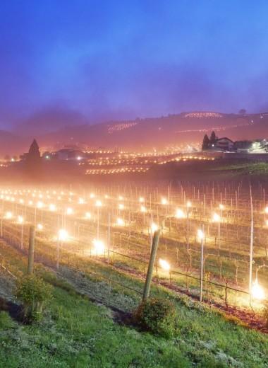 Как уберечь виноградники от заморозков? Зажечь 300 факелов!