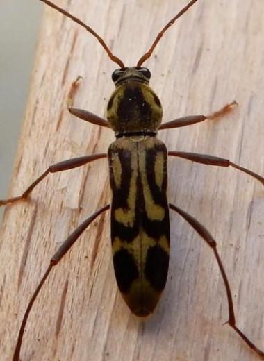 Инвазивный азиатский бамбуковый жук распространился по всей Европе