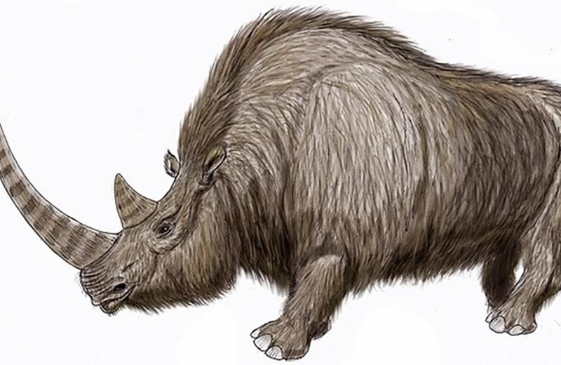 В якутской мерзлоте нашли отлично сохранившуюся тушу молодого шерстистого носорога