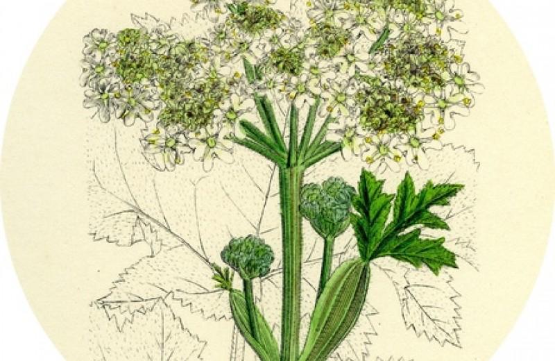 Урожайный гад: чем опасен борщевик и как это ядовитое растение заполонило российские земли