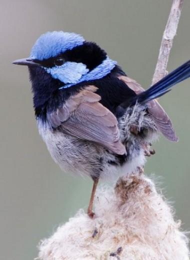 Птичий пароль: как прекрасные расписные малюры распознают подкидышей