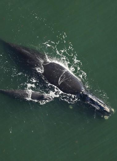 Северные гладкие киты в беде: почему и что с этим делать