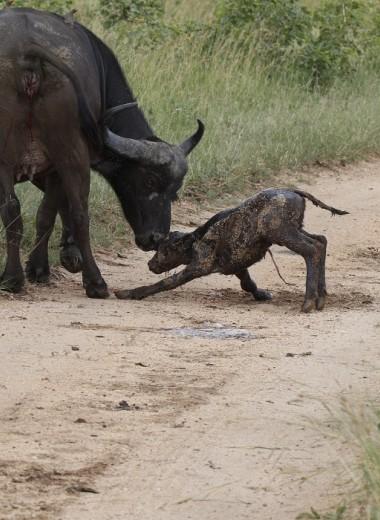Рождение буйвола на глазах у туристов: видео