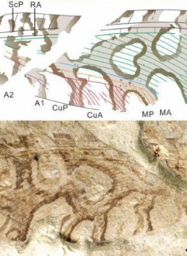 Юрских сетчатокрылых уличили в подражании лишайнику
