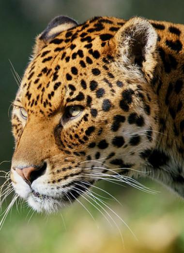 Зоологи предложили вернуть ягуаров на юго-запад США