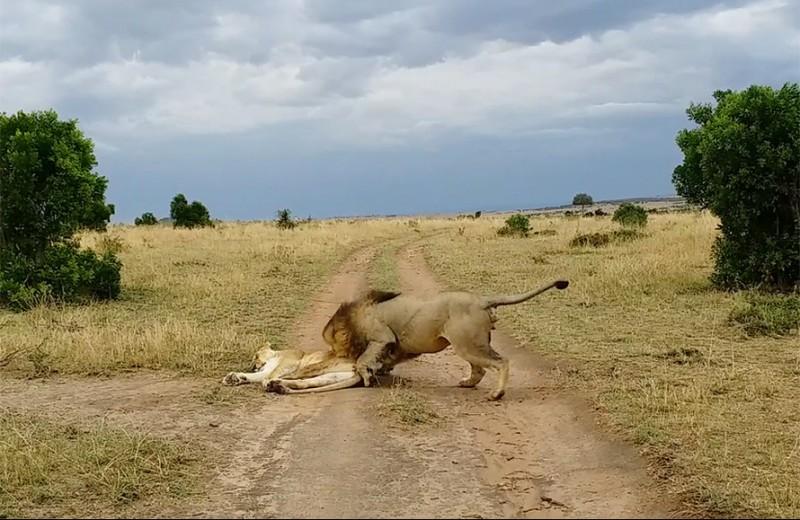 Как не следует будить спящую львицу: видео