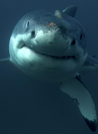 Умные до ужаса: почему акулы — профессора убийства