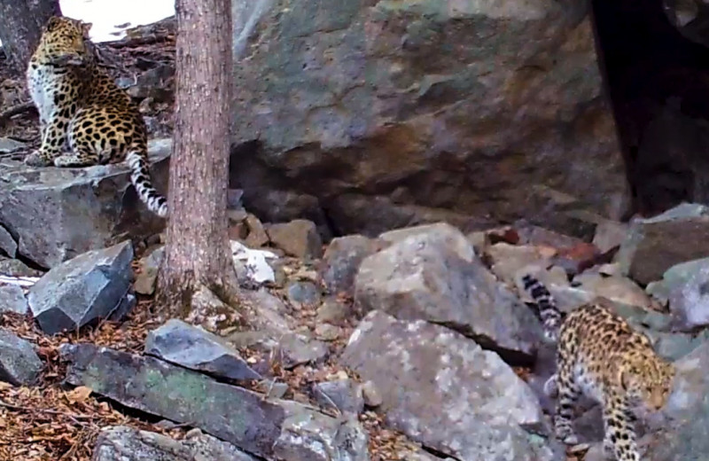 Романтическое свидание редчайших леопардов попало на видео в Приморье