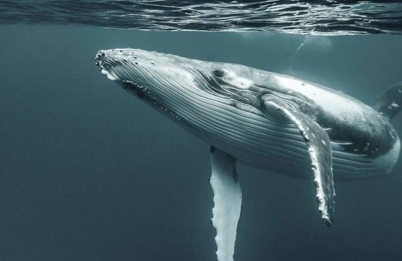 Горбатые киты учатся песням друг у друга