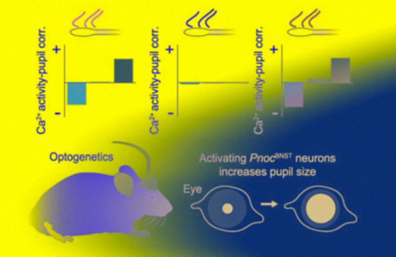 Нейроны расширенной миндалины заставили мышей поволноваться