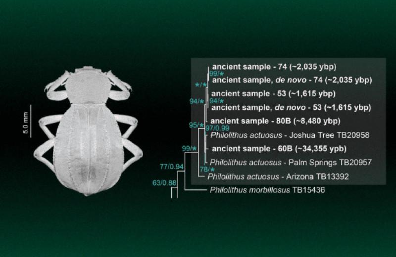 Биологи выделили древнюю ДНК насекомых из мусорных куч лесных хомяков