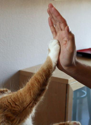 5 компанейских пород кошек, больше похожих на собак