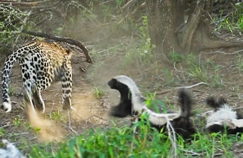 Ярость медоеда: мать спасает детеныша от леопарда