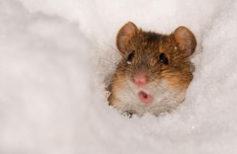 Зоологам удалось превратить обычную мышь в свирепого хищника