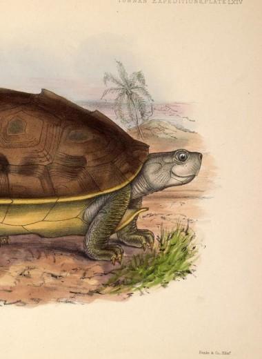 Редкие улыбчивые черепахи спасены от вымирания