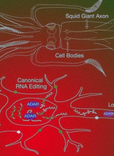Кальмары перекодировали РНК за пределами клеточного ядра