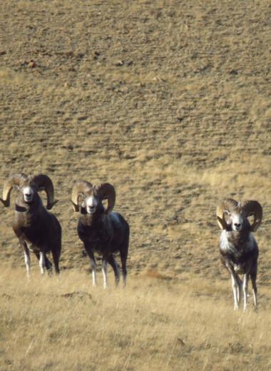 В Сайлюгемском национальном парке насчитали рекордное количество аргали