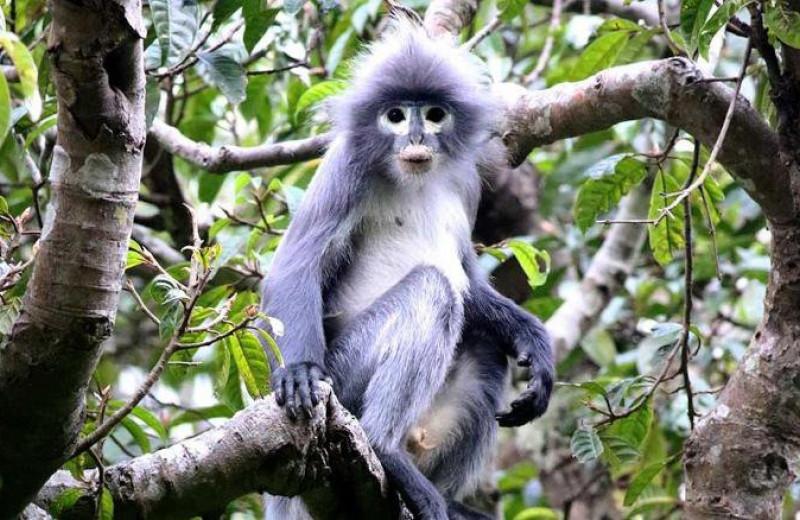 В Мьянме открыли новый вид тонкотелых обезьян