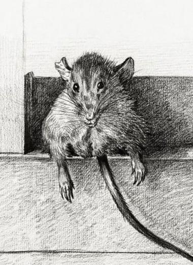 Спаривание наградило мышей лишним весом и сократило их жизнь