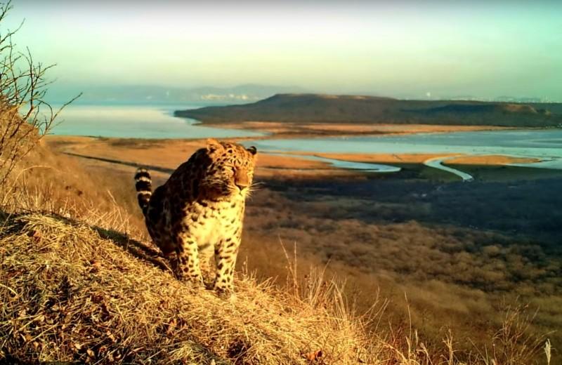 Амурский тигр и дальневосточный леопард сфотографировались на фоне Владивостока
