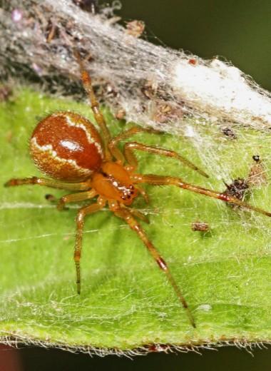 Разозленные пауки – еще одно последствие климатических изменений