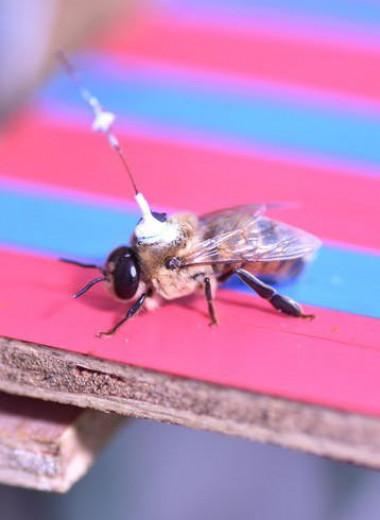 Где спариваются пчелы? Ответ на этот вопрос найден