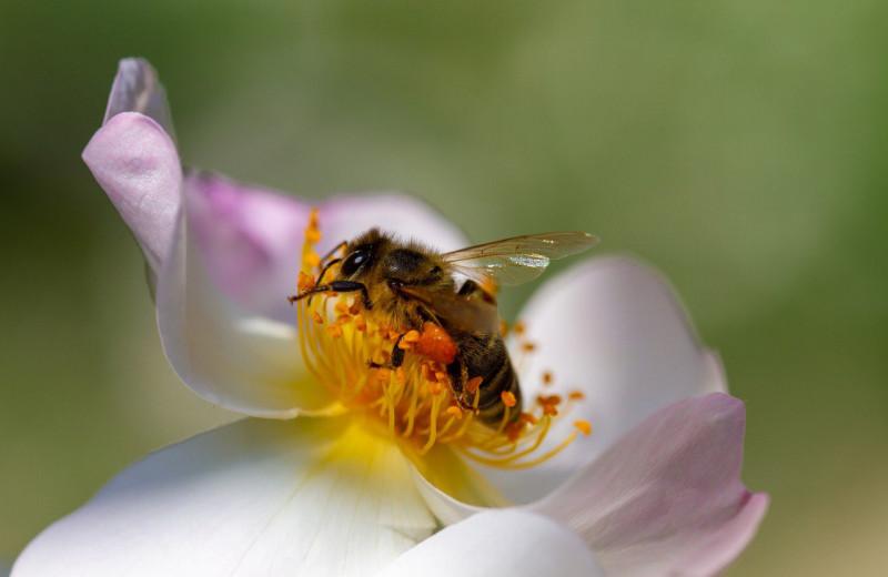 Злые пчелы вырабатывают более качественный яд, чем добрые