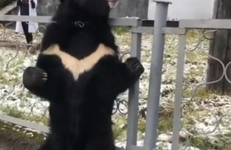 Передвижной цирк в Иркутской области привязал медведя к больничному забору