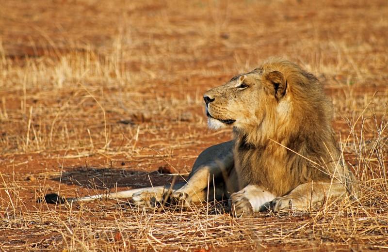 Львы исчезли с 95% исторического ареала в Африке