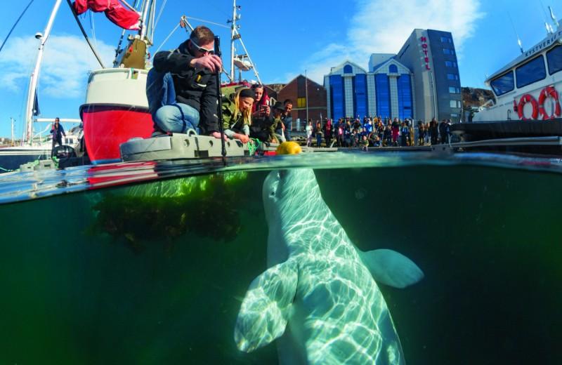 Сказка о потерянном ките: откуда в Норвегии взялась тренированная белуха