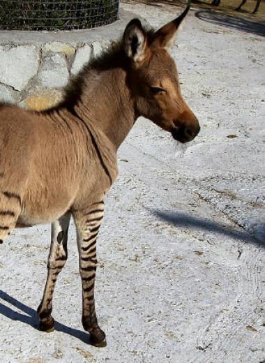 13 животных-гибридов, о существовании которых ты не подозревал