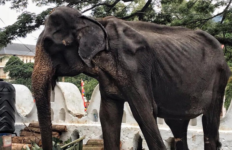 Истощенная слониха развлекает посетителей фестиваля: зоозащитники бьют тревогу