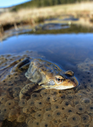 Ученые нашли способ определять родину лягушек по их слизи
