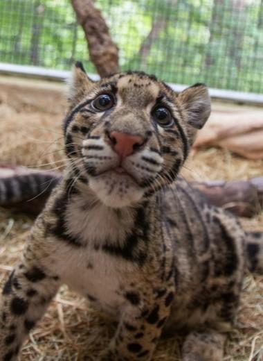 Спасти дымчатых леопардов: успешный опыт американского зоопарка