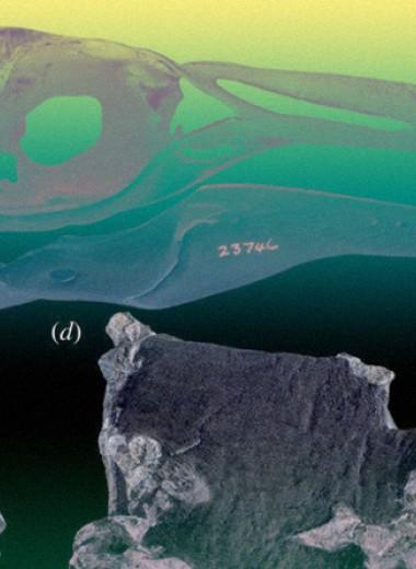 В Новой Зеландии откопали древнего хохлатого пингвина