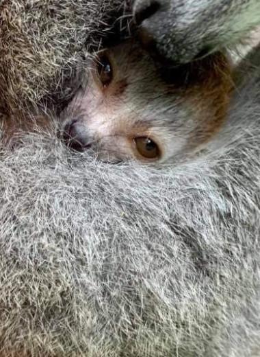 Венценосный лемур: пополнение в американском зоопарке