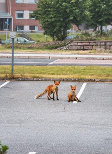 Природа переезжает. Как дикие животные учатся жить в городах