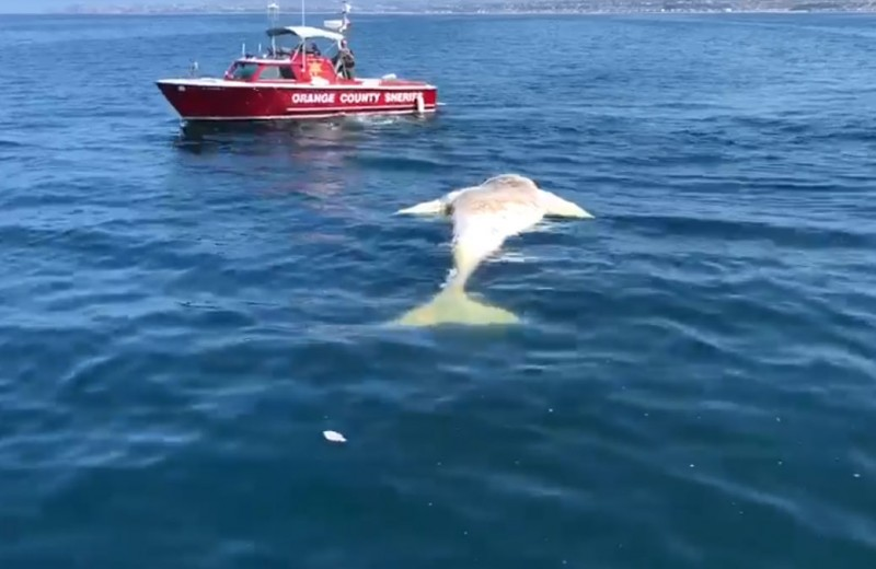 Пятиметровая белая акула ест кита: видео