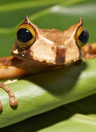 Считавшаяся вымершей рогатая сумчатая квакша снова обнаружена в лесах Эквадора