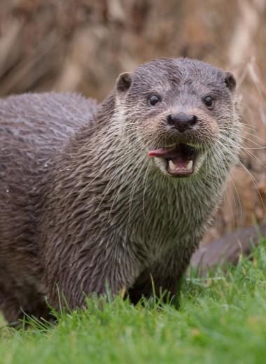 В Британии растет популяция выдр: они воруют рыбу из прудов и радуются жизни