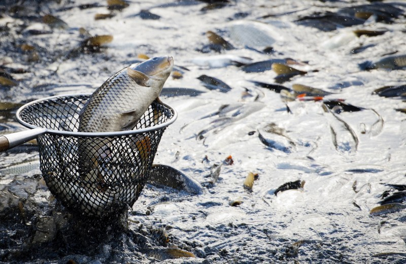Бизнес против экологии. Чем опасна искусственно выращенная рыба