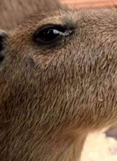 В Ленинградском зоопарке родился малыш капибары: видео
