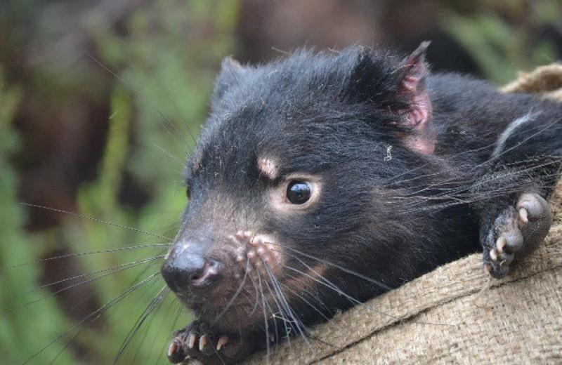 Убивающий тасманийских дьяволов рак оказался эволюционно консервативным