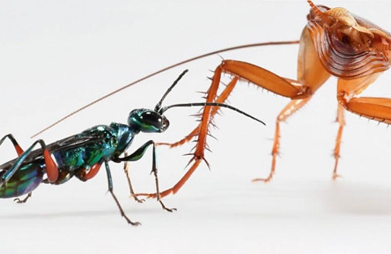 Боевые искусства помогли тараканам спастись от зомбирующих ос