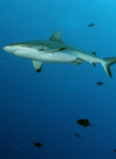 Акулы занялись серфингом для экономии энергии