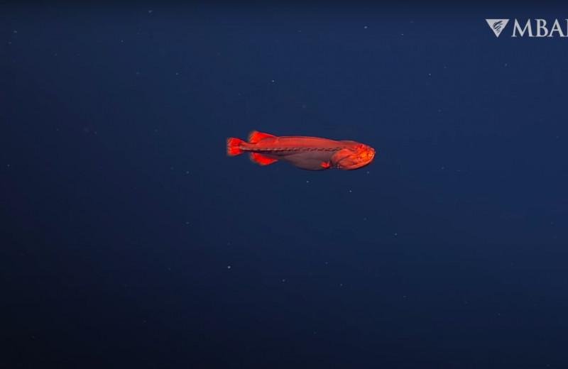 В водах Калифорнии заметили рыбу-оборотня. Она сто лет морочила ученых